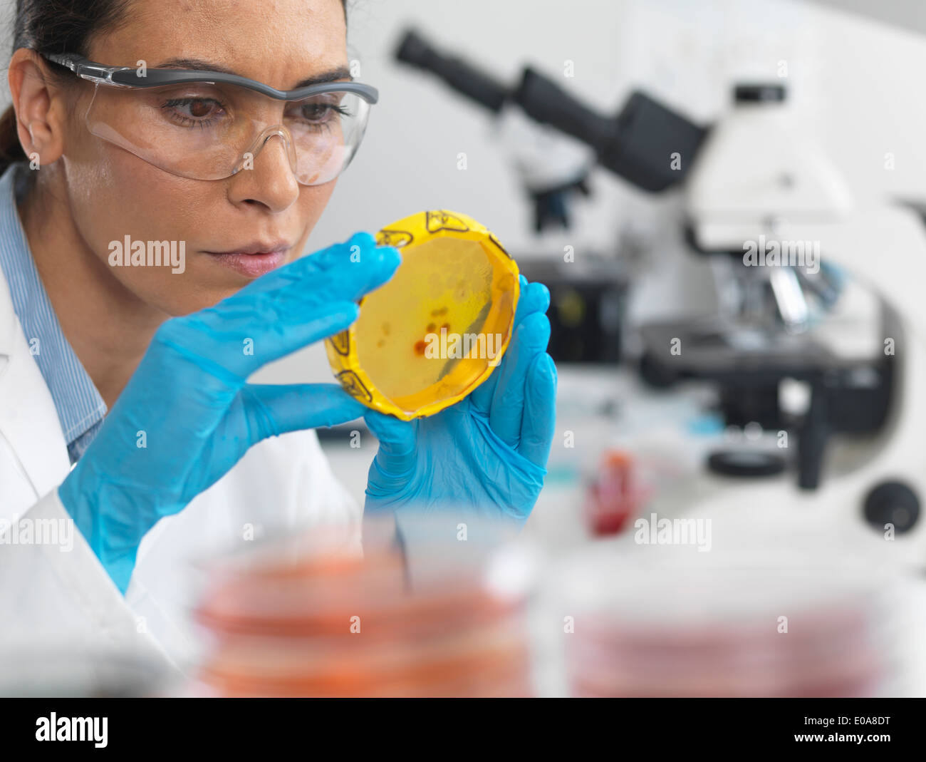 Scientist viewing cultures growing in petri dishes with a biohazard tape on in a microbiology lab - Stock Image