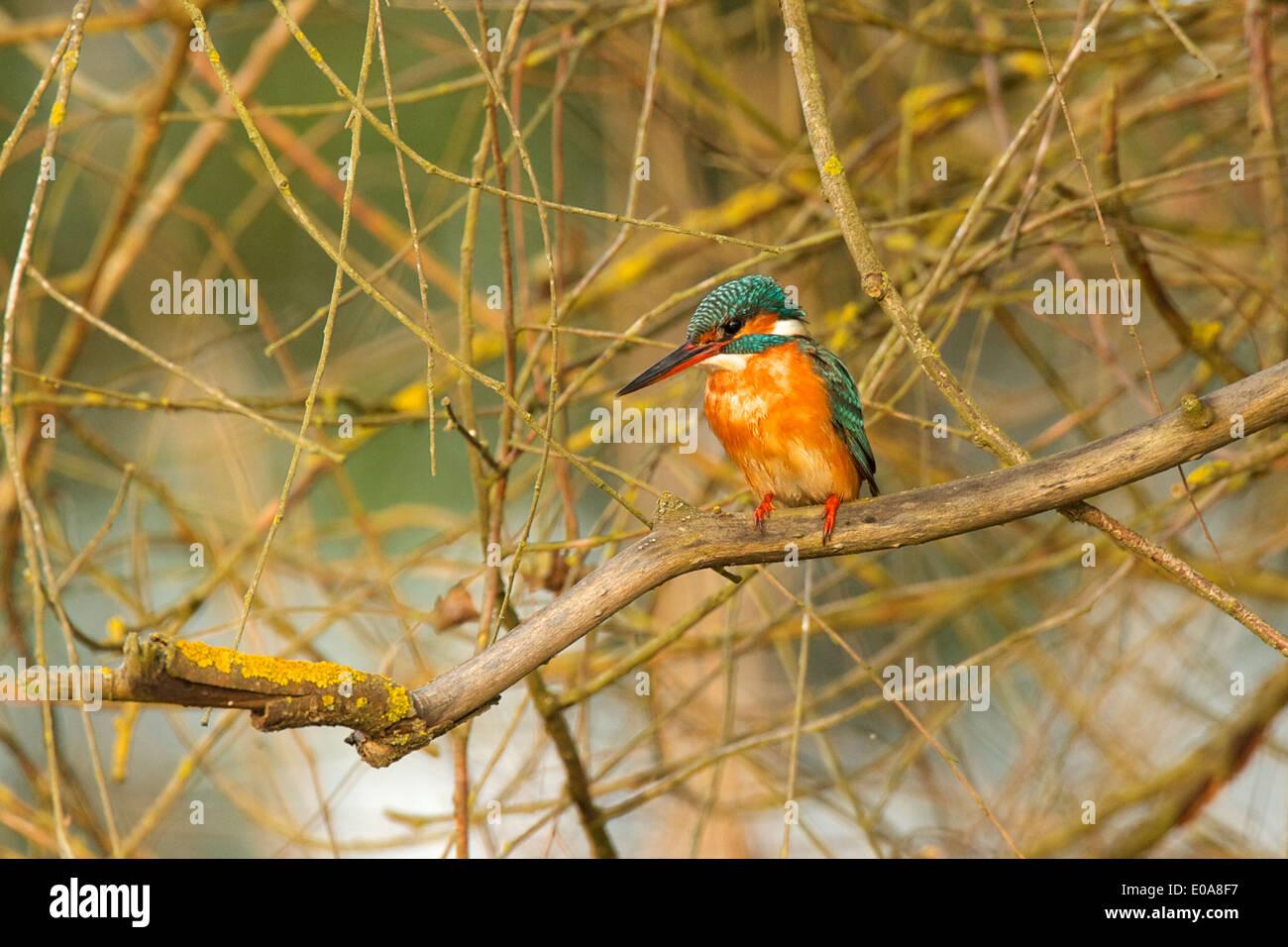 Malachite kingfisher - Alcedo cristata, Selous National Park, Tanzania - Stock Image