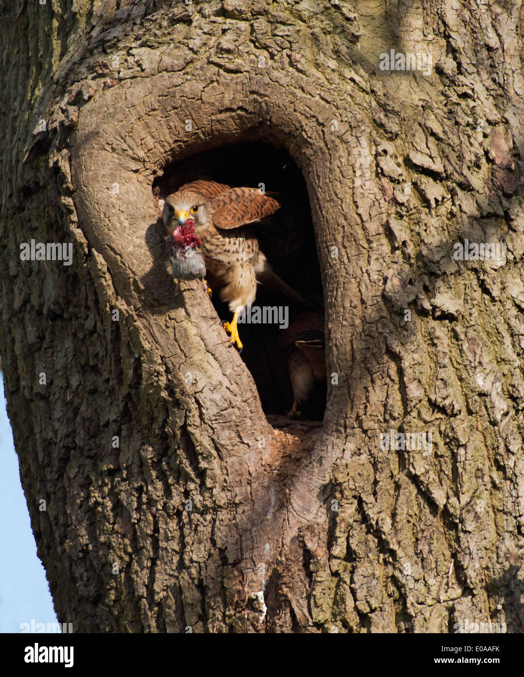 Wild female Kestrel, Falco tinnunculus perched at entrance to nest with vole - Stock Image