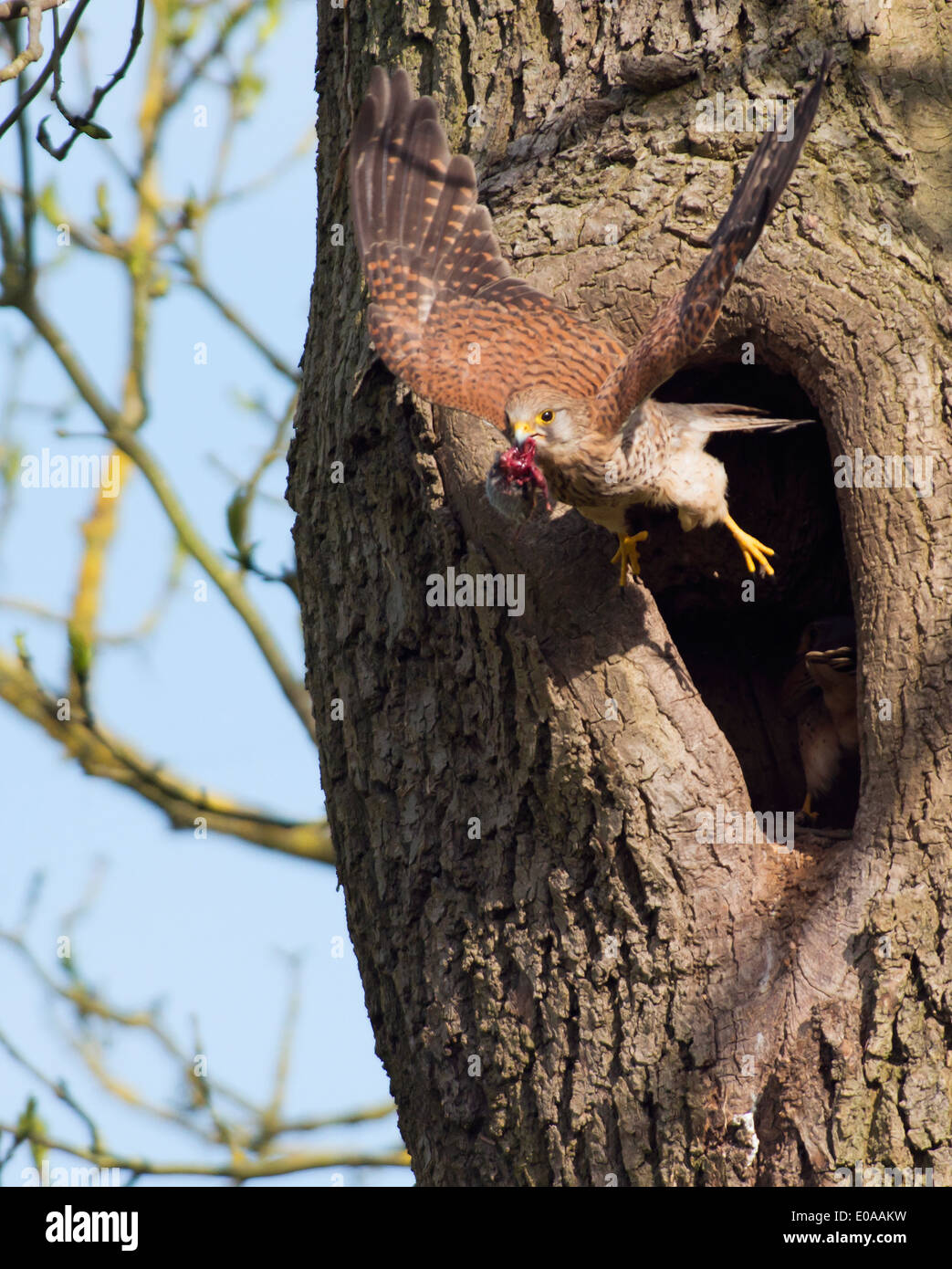 Wild female Kestrel, Falco tinnunculus taking off from nest with field vole in it's beak - Stock Image