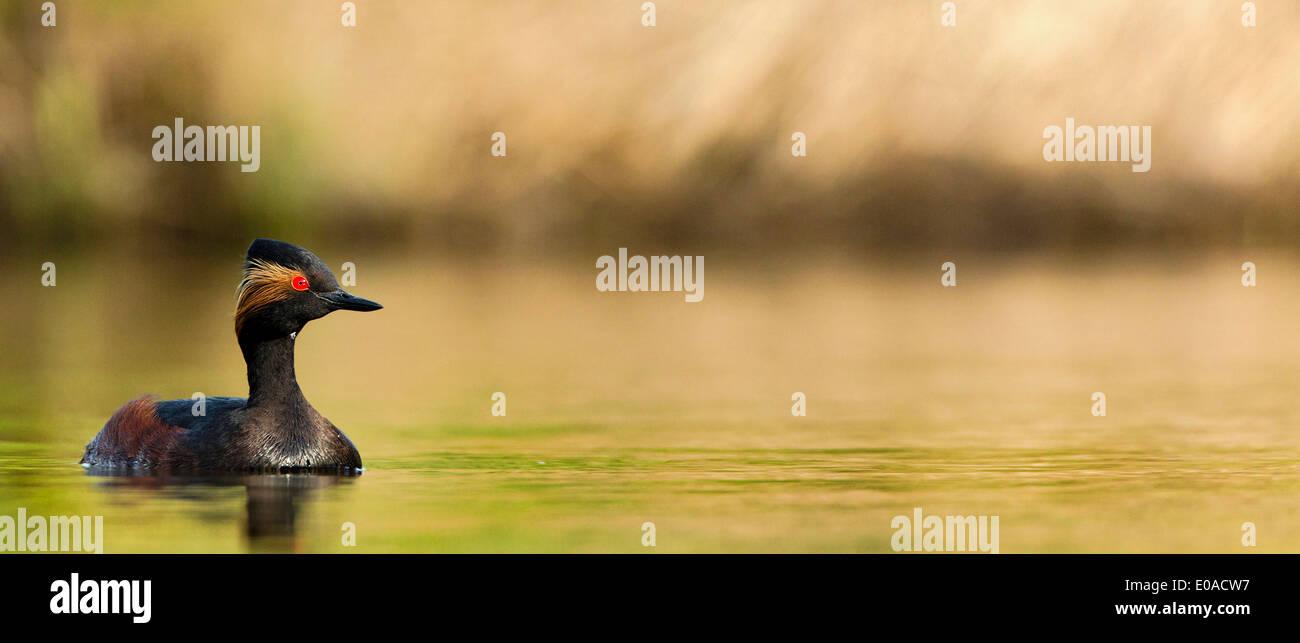 Black-necked Grebe (Podiceps nigricollis) panoramic image. - Stock Image
