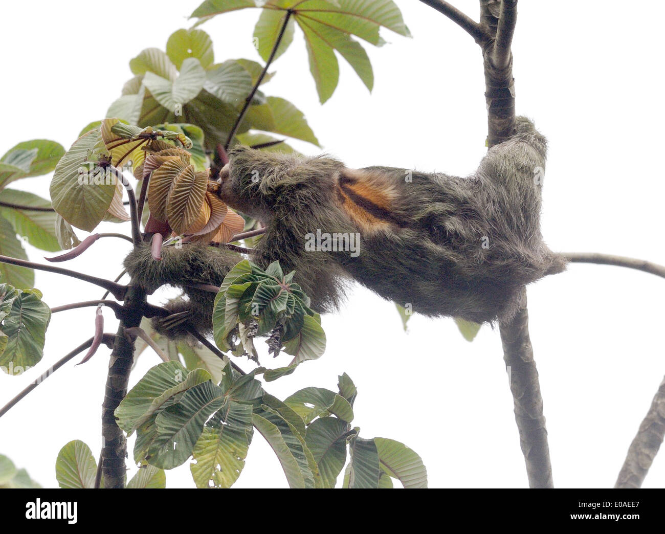 A Three-toed Sloth or Brown-throated Sloth (Bradypus variegatus) feeds on leaves. Tortuguero National Park,  Costa Rica Stock Photo