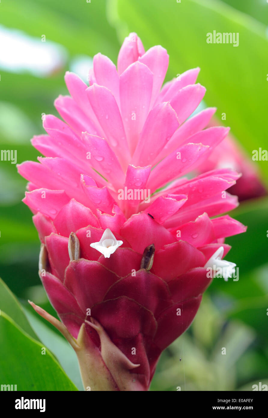 Pink Flower In The Tropical Rain Forest On The Oro Peninsula Drake