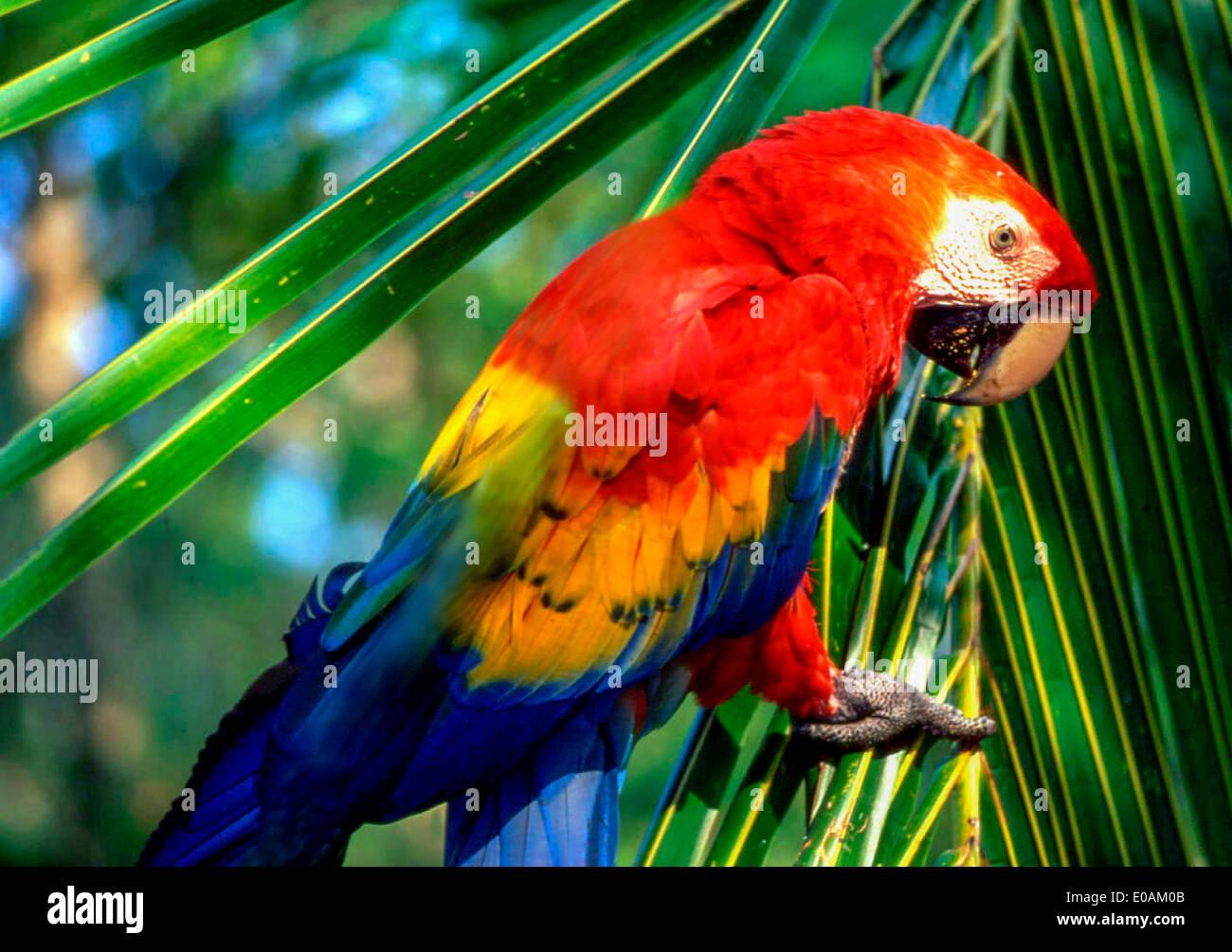 Costa Rica, Ara | Scarlet macaw Ara macao Costa Rica - Stock Image