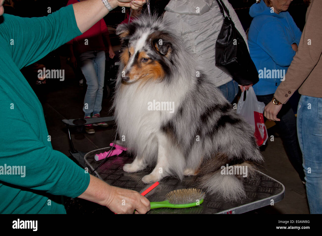 Dog on the grooming table at the international dog show in Prague 2014. - Stock Image