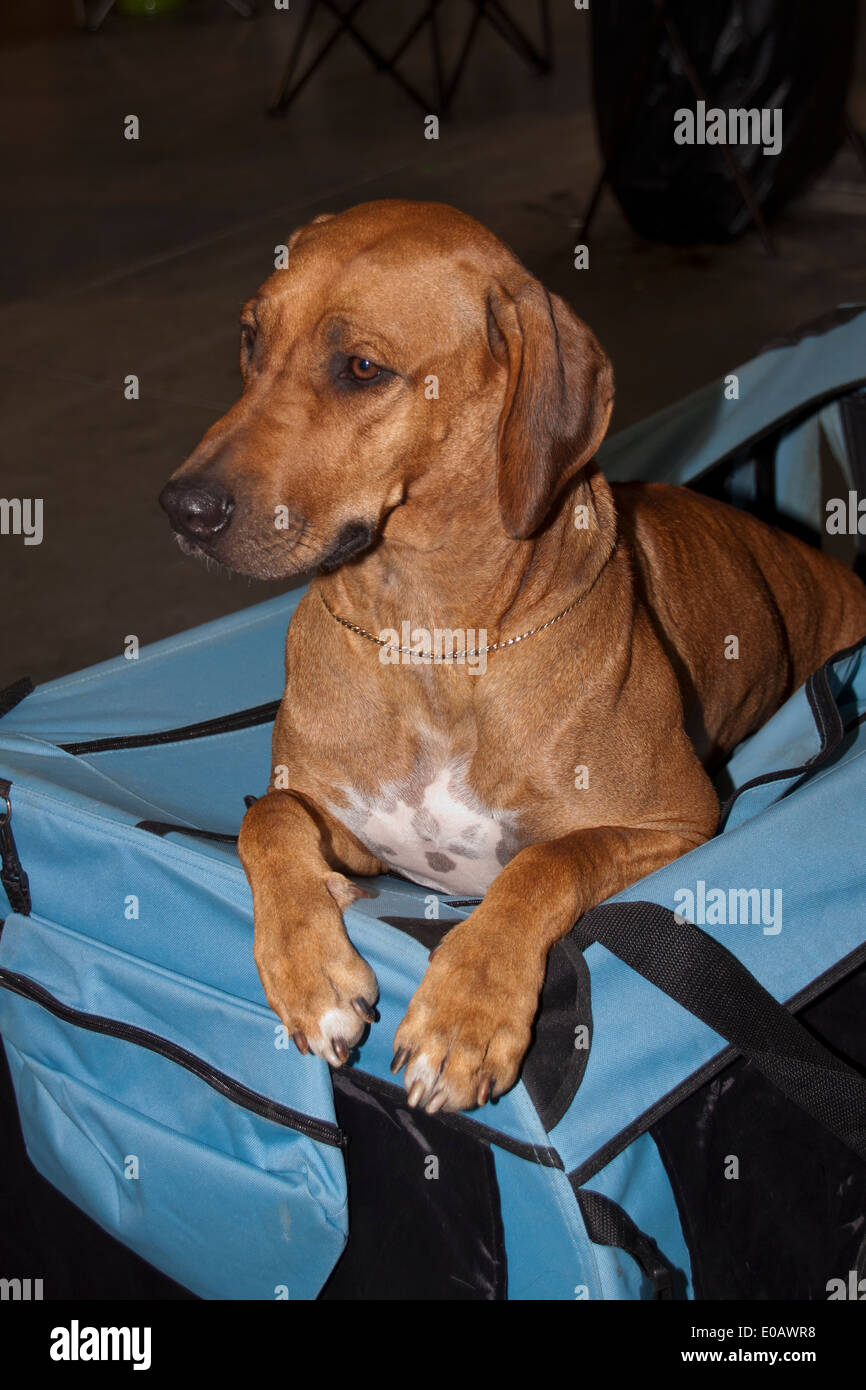 Rhodesian Ridgeback with white marking on the chest, sitting in it's blue dog crate, Photographed from front. - Stock Image