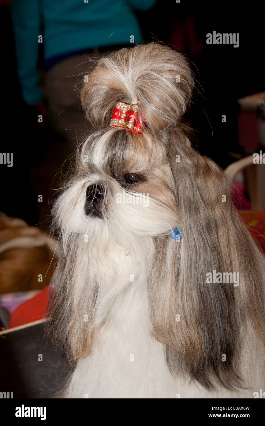 Lhasa Apso sitting on the grooming table, all ready to enter the dog show ring, having a bow in the top knot. - Stock Image