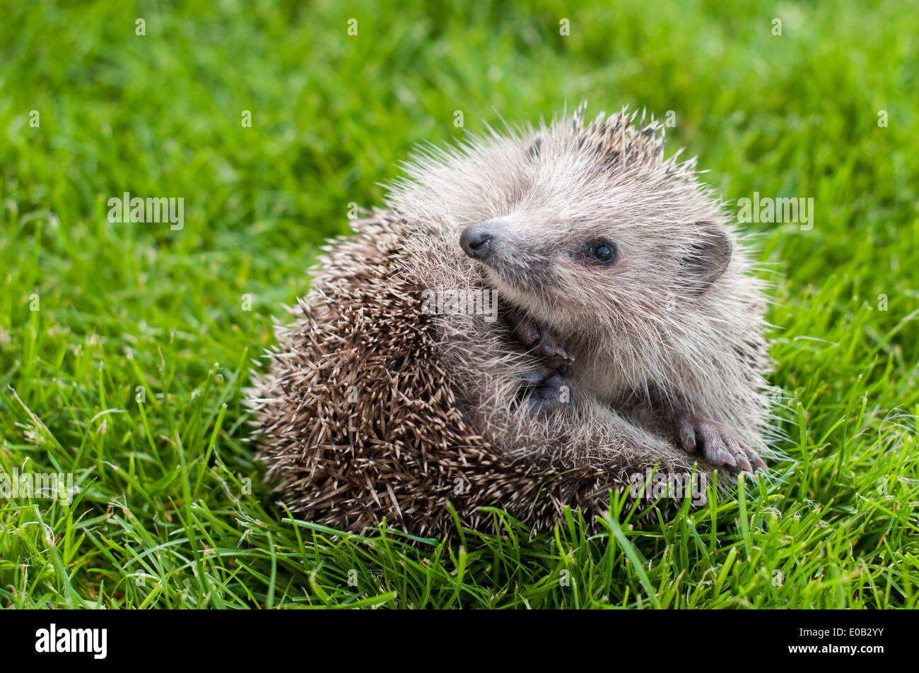 Young Hedgehog in a ball on a green grass Stock Photo