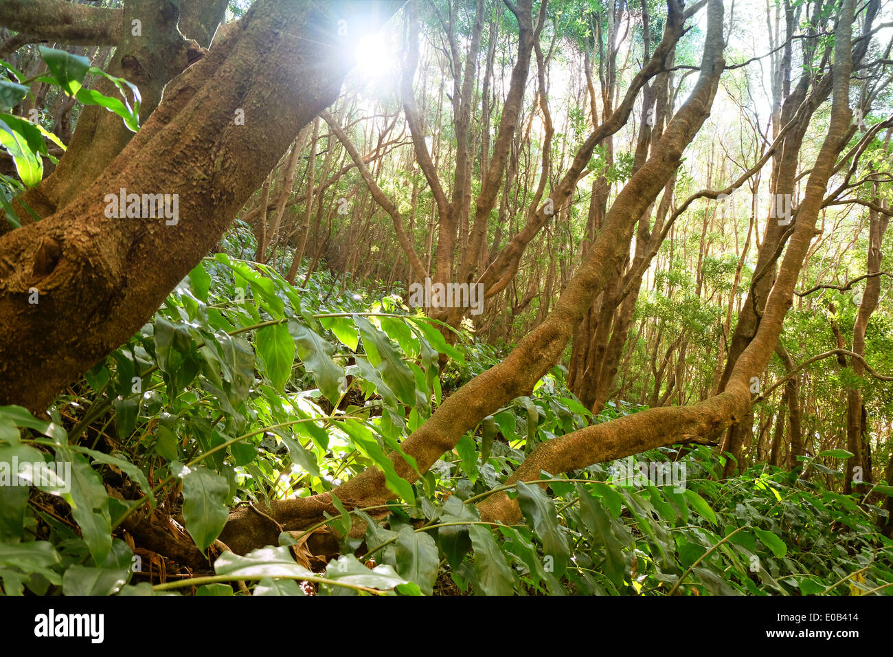 Portugal, Azores, Sao Miguel, Primeval forest at Lagoa Verde - Stock Image