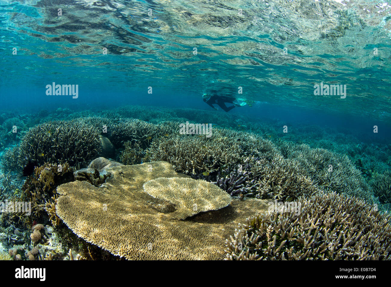 Snorkeler on coral reef. - Stock Image