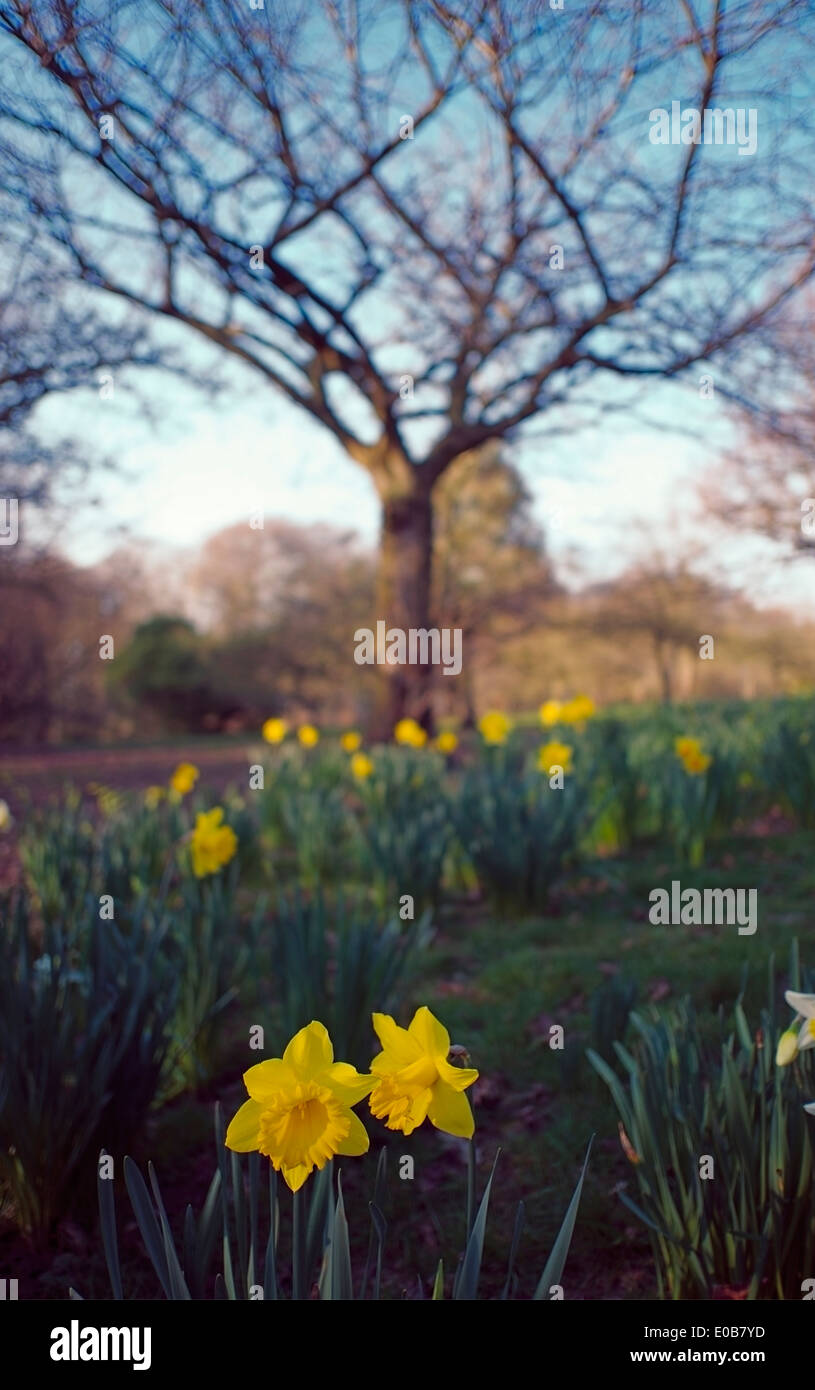 A bed of daffodils in front of a leafless tree. - Stock Image