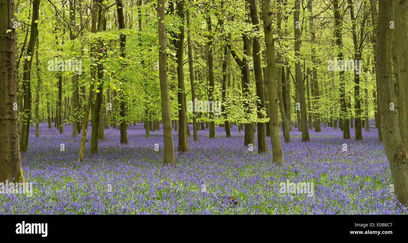 Bluebell and Beech tree woodland in the English countryside - Stock Image