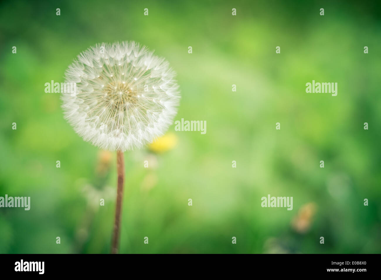 Relaxing natural background with a beautiful dandelion flower - Stock Image
