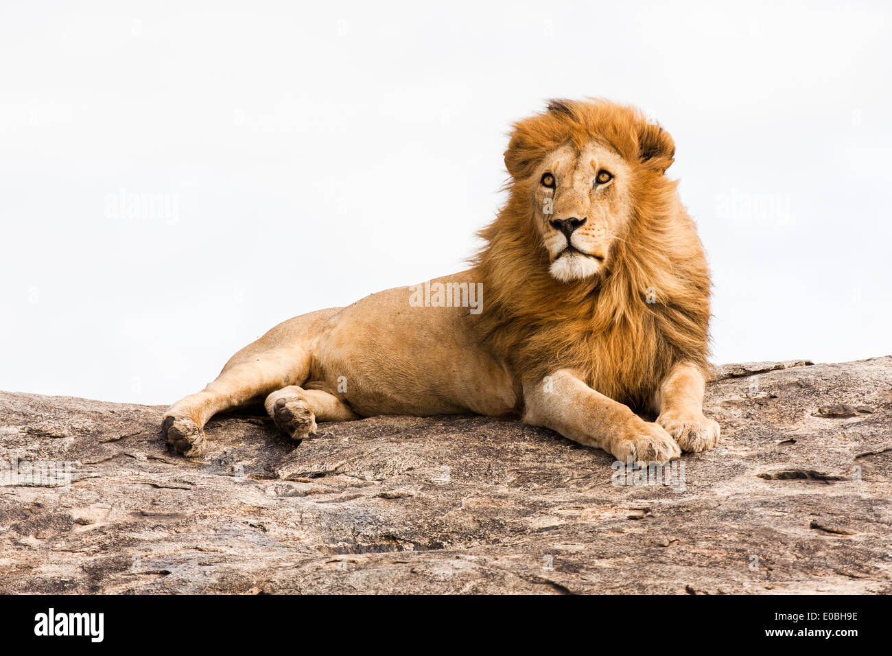 lion (Panthera leo) on a rock boulder Photographed in Tanzania - Stock Image