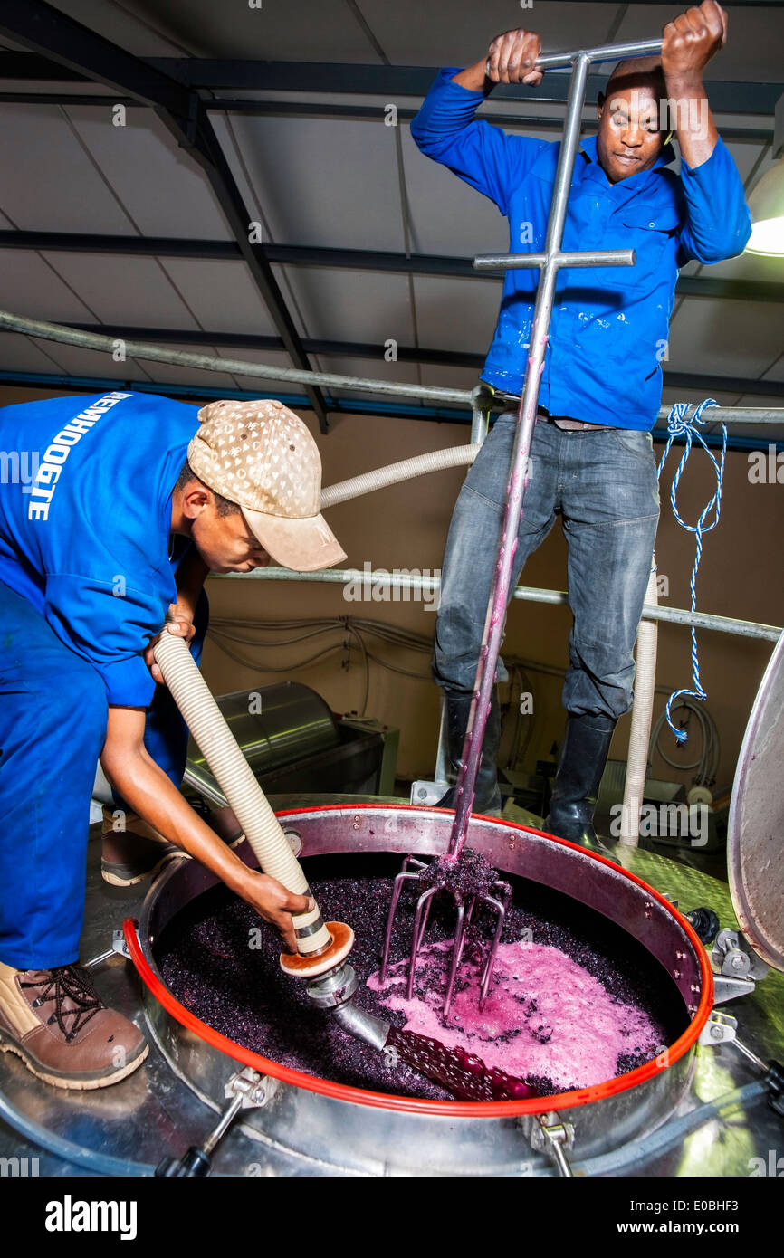 Two farm worker men pressing or punching grapes in a steel tank during harvest - Stock Image
