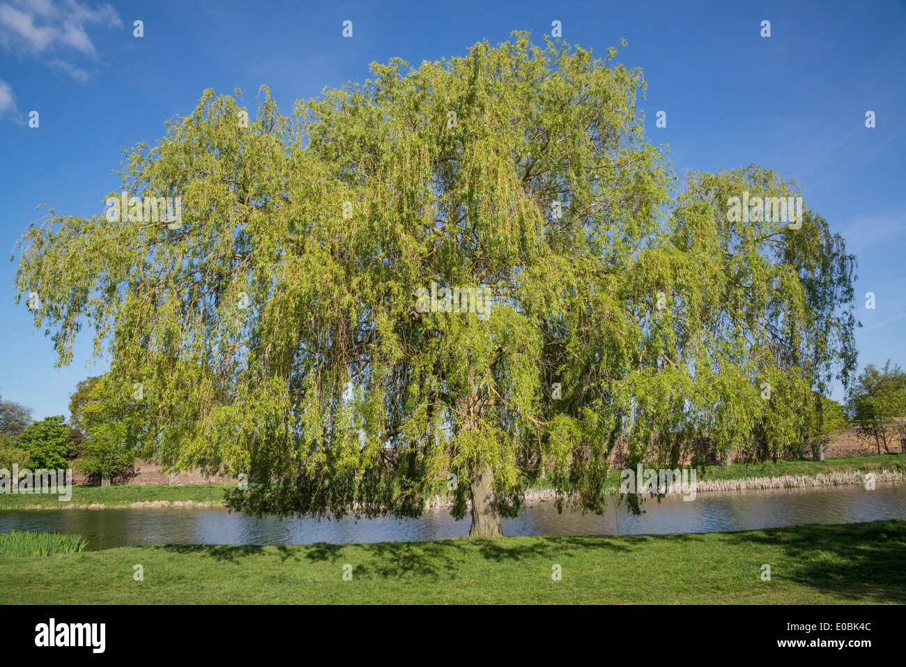 Weeping Willow Tree Stock Photos & Weeping Willow Tree Stock Images ...