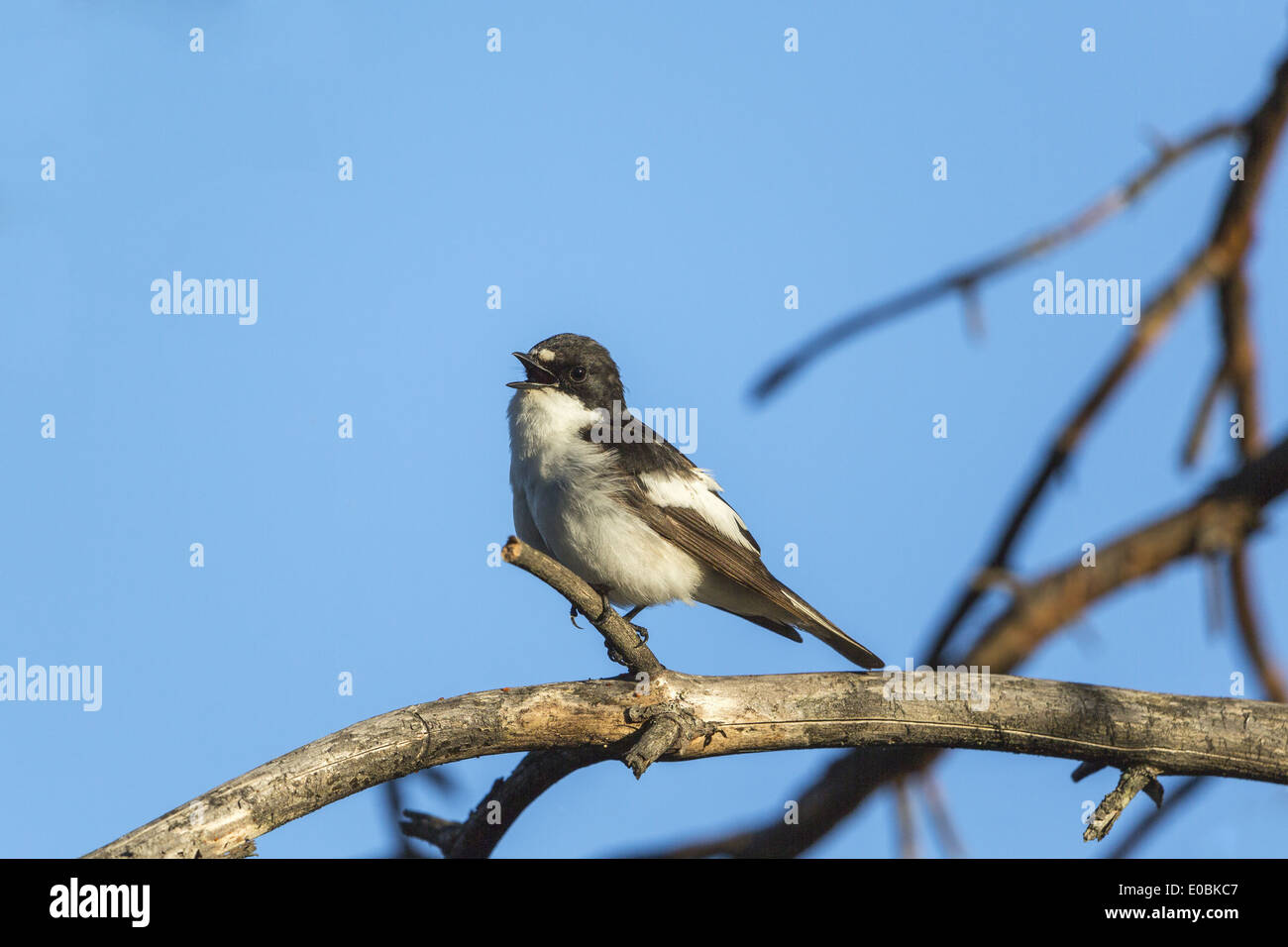 Pied Flycatcher sitting on a branch and singing - Stock Image