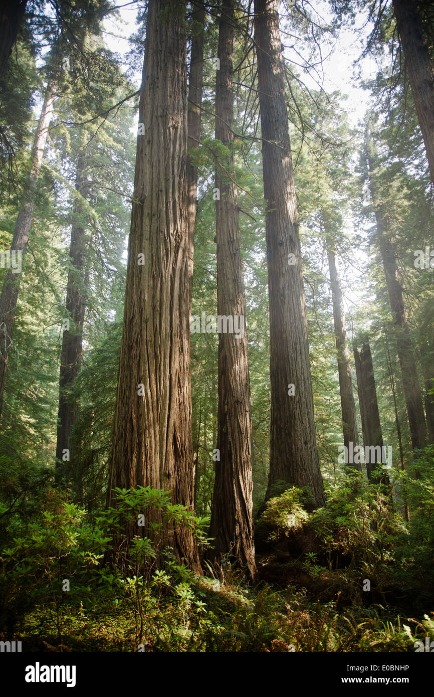 Redwood Forest - Stock Image