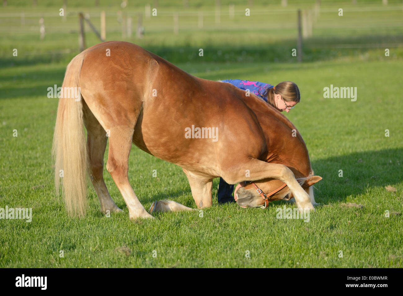 Haflinger horse doing compliment in a meadow - Stock Image