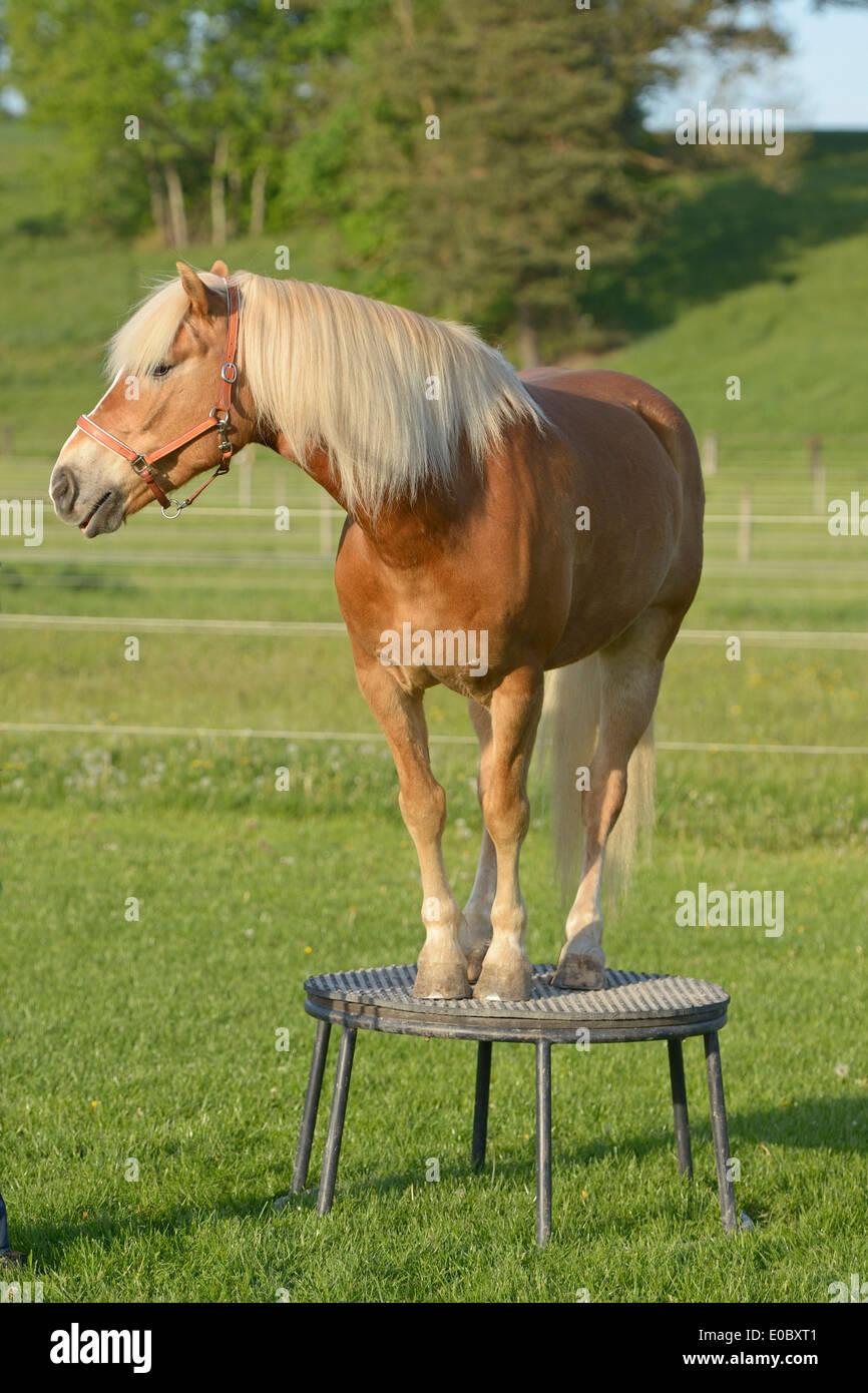 Haflinger horse standing on a pedestal - Stock Image
