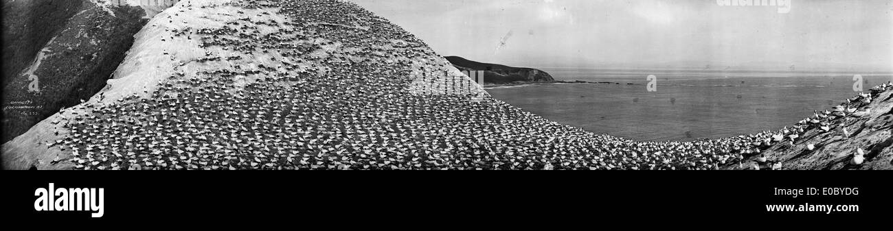 Gannets, Cape Kidnappers, New Zealand, 1923-1928 - Stock Image