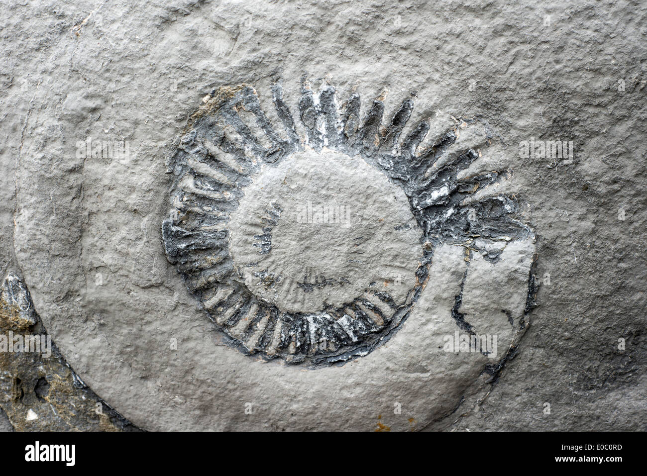 Ammonite fossil in a rock on the beach at Lyme Regis, Dorset, England, UK - Stock Image