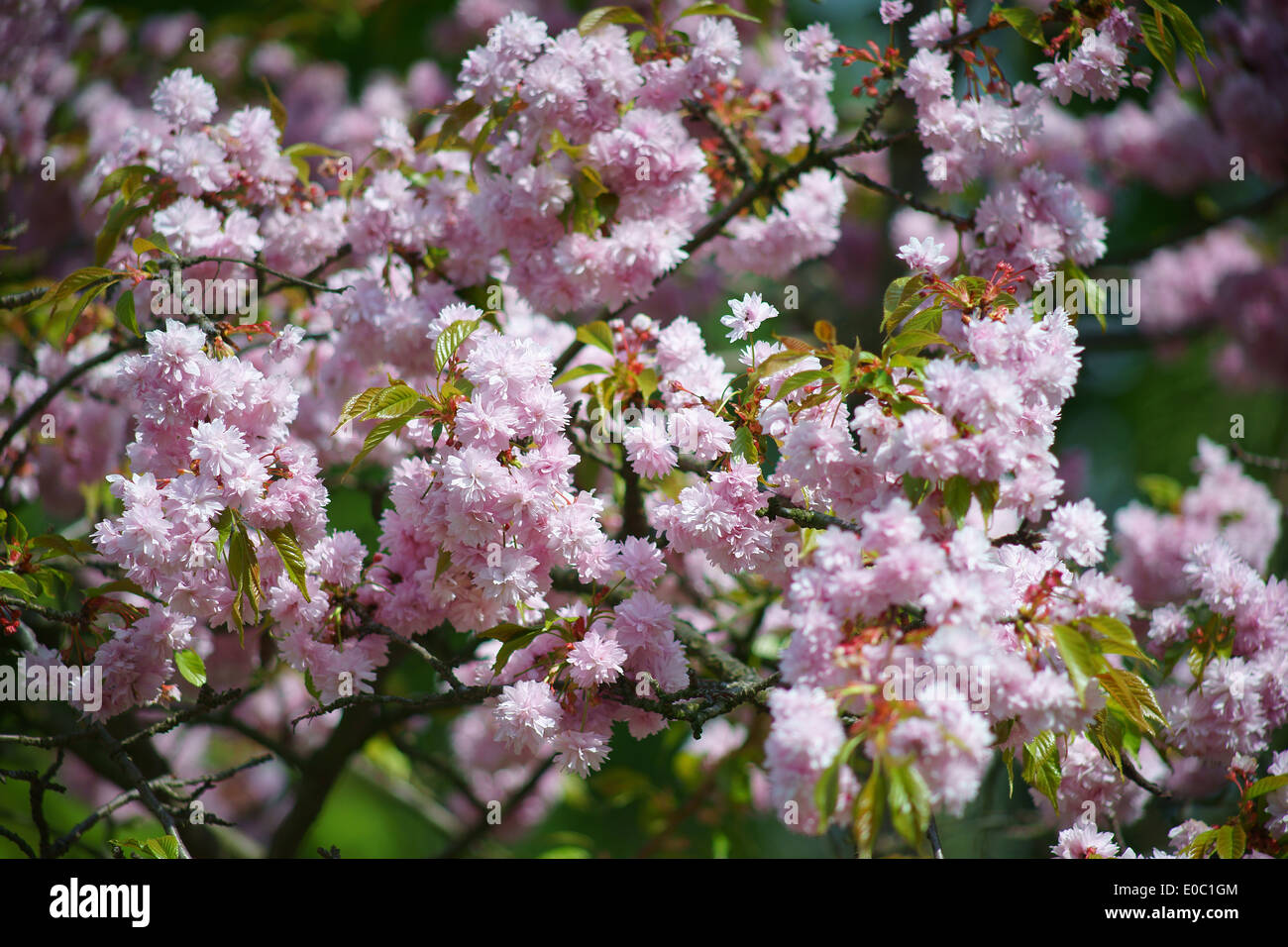 Pink Ornamental Cherry Tree Blossom Stock Photos Pink Ornamental
