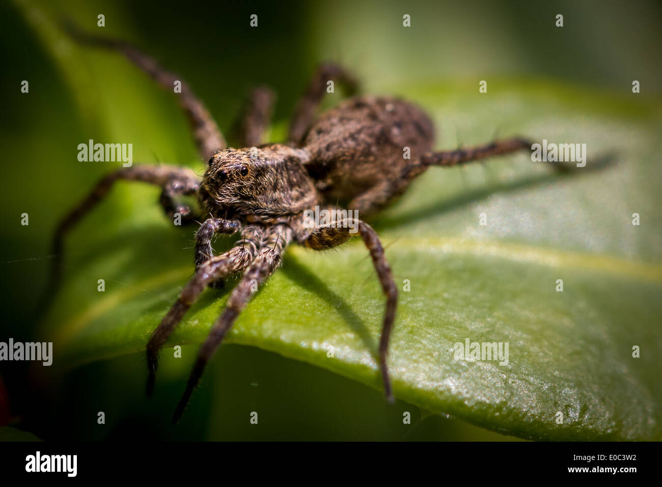 Spotted wolf spider (Pardosa amentata) Uk - Stock Image