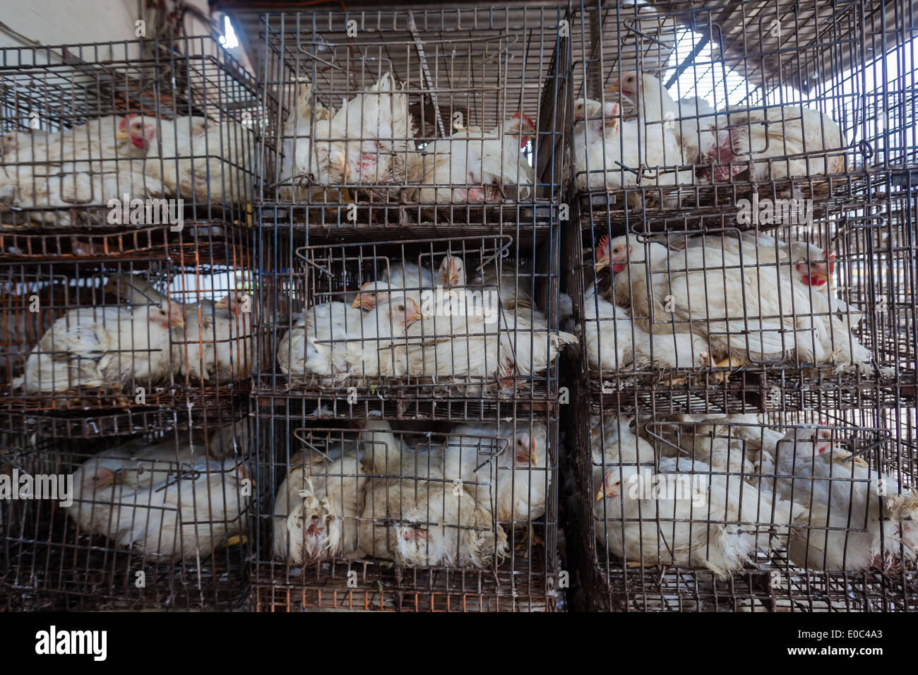 Agriculture poultry small abattoir processing for organic fed chicken ducks to local markets - Stock Image