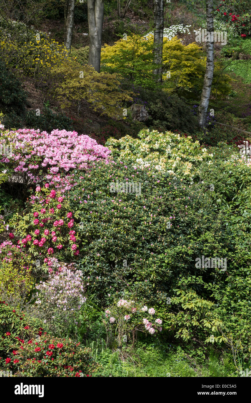 Variety of Rhododendrons flowering in Himalayan Garden and Sculpture Park North Yorkshire England UK Europe May - Stock Image