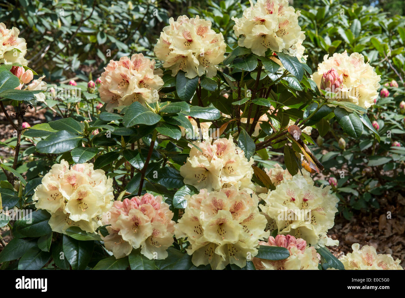 Rhododendron 'Goldprinz' Himalayan Garden and Sculpture Park North Yorkshire England UK Europe May - Stock Image