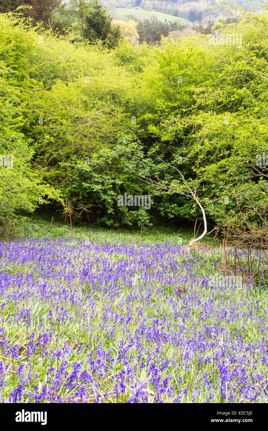 Bluebells growing in a woodland in Kirkoswold, Eden Valley, Cumbria, UK. - Stock Image