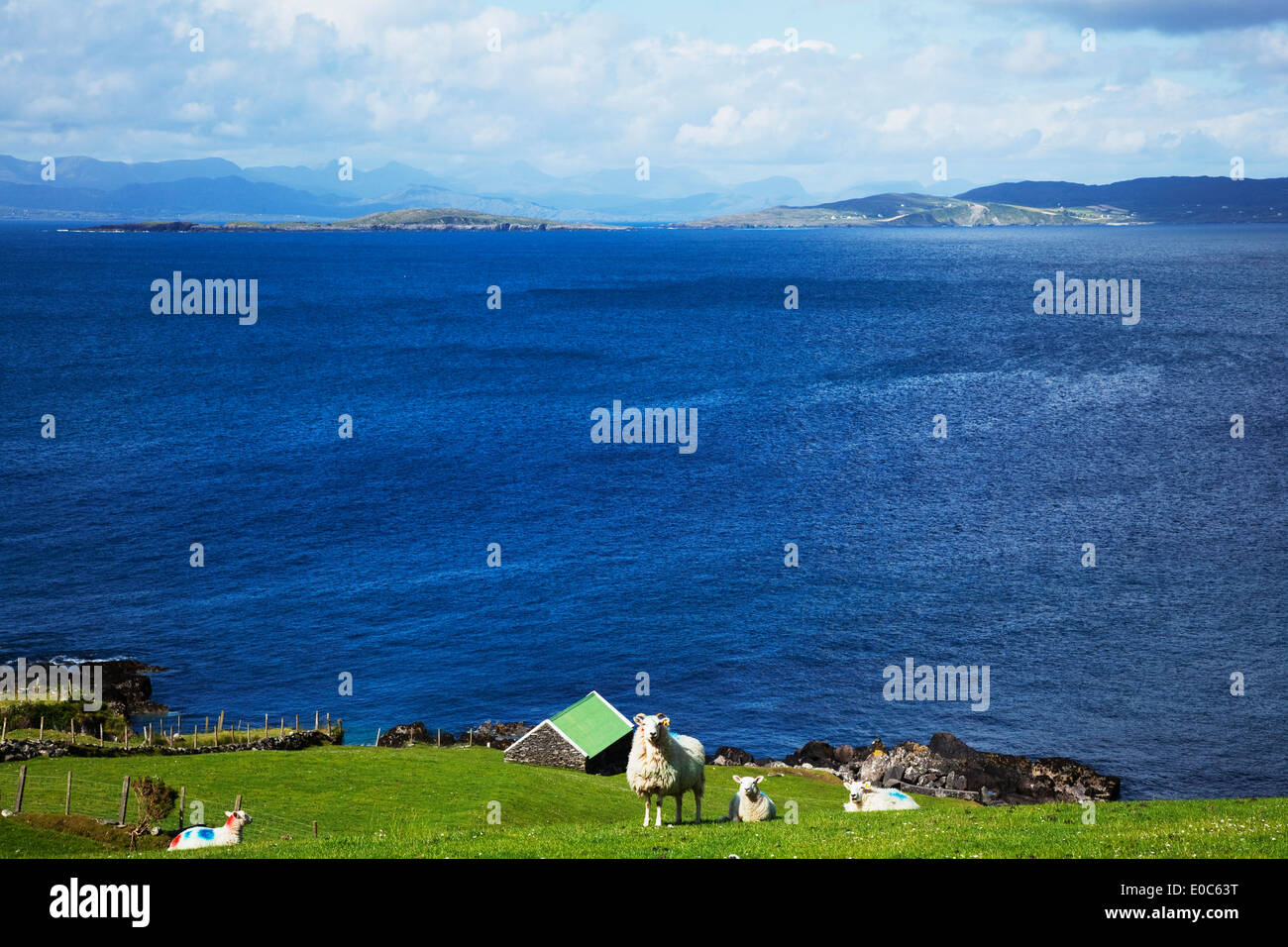 Distant mountains along the coastline with sheep grazing on the grass in the foreground, near Eyeries; County Cork, Ireland - Stock Image