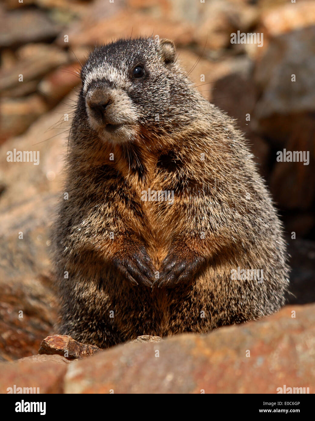 A juvenile Yellow-bellied Marmot cautious and curious. - Stock Image