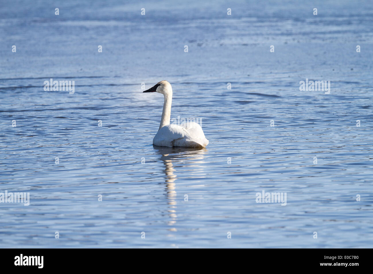 Trumpeter Swan (Cygnus buccinator) Beautiful white Trumpeter Swan, swimming in a blue lake. Rural, Alberta, Canada Stock Photo