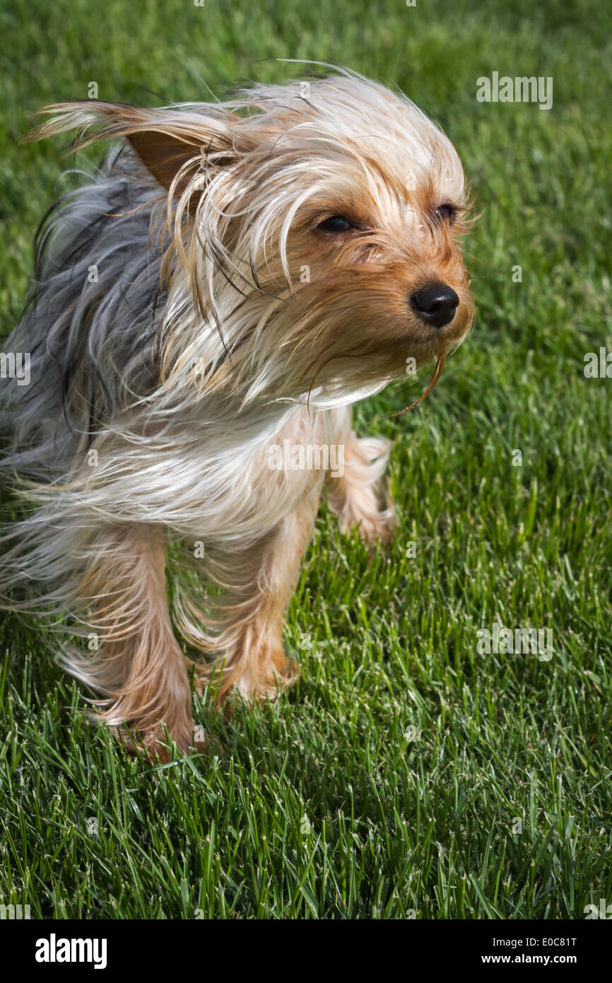 Small Young Yorkshire Terrier Puppy With Long Hair Blowing In The