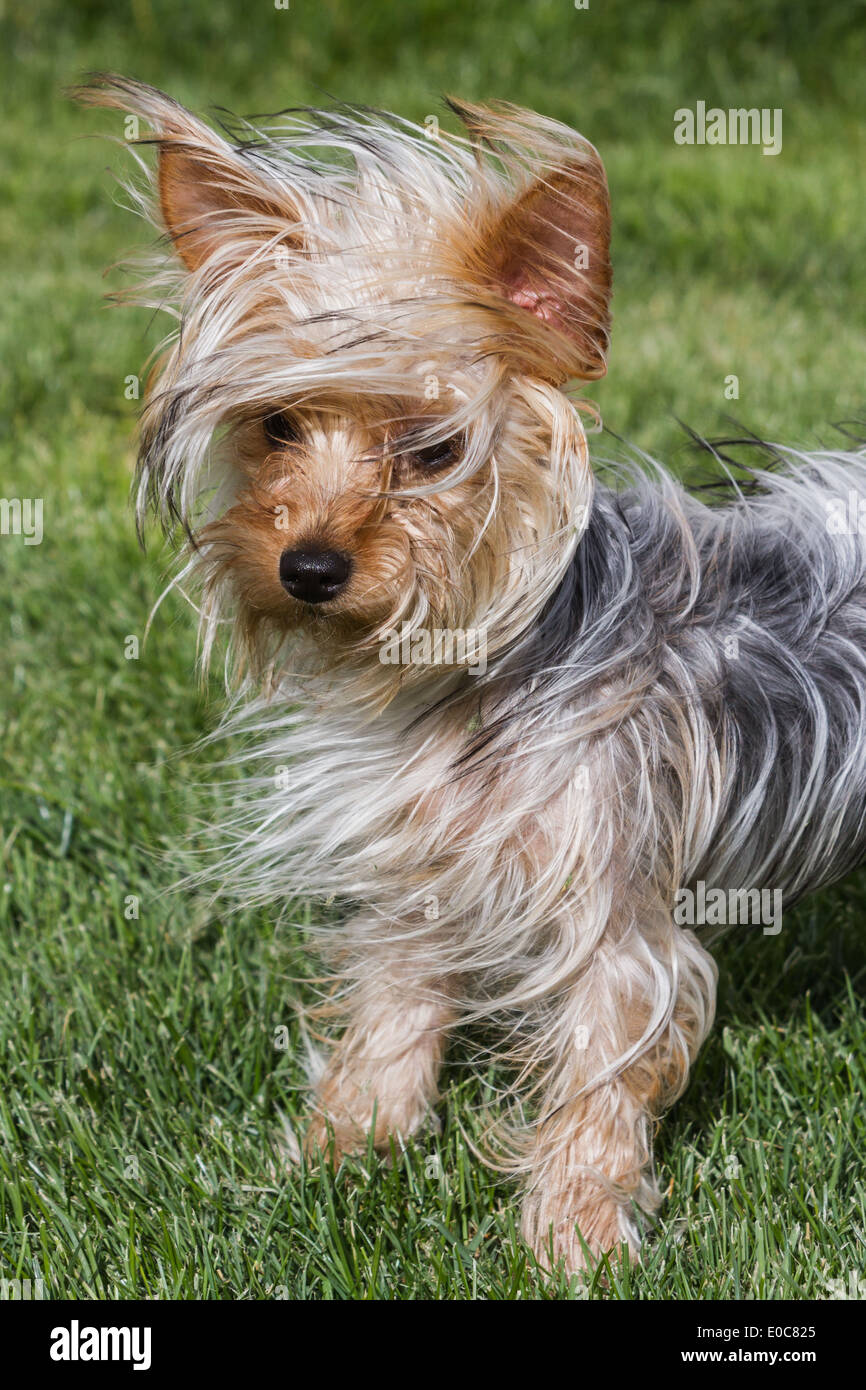 Small Young Yorkshire Terrier Puppy With Long Hair Blowing