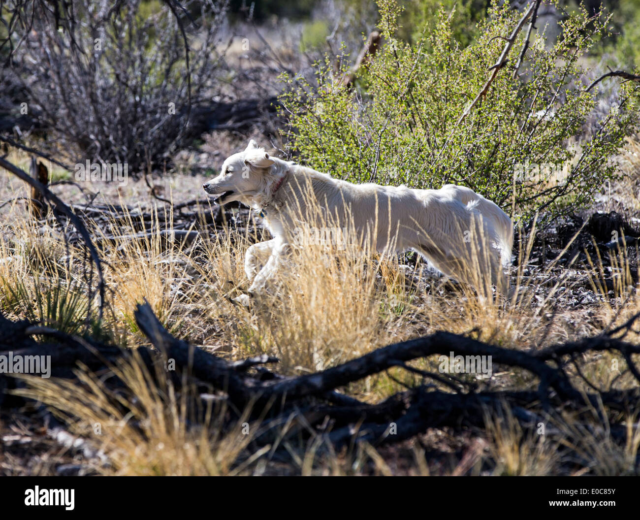 Platinum colored Golden Retriever dog running on a mountain trail - Stock Image