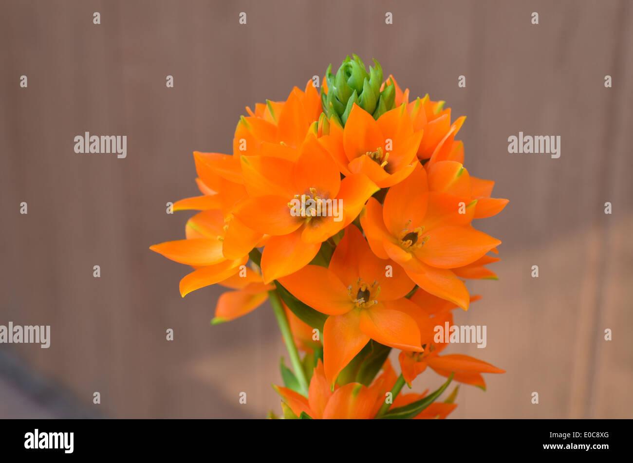 starburst flower - Stock Image