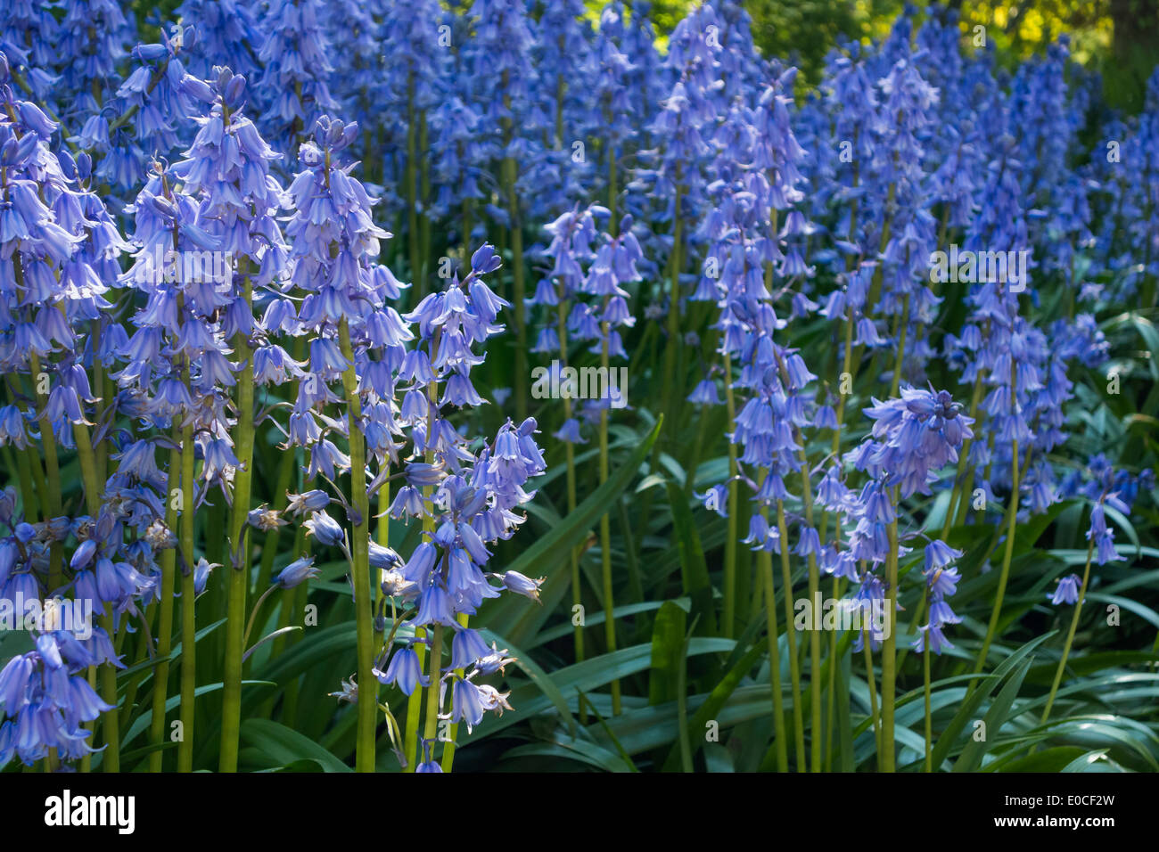 Bluebells Spanish blue bells Hyacinths Hyacinthoides Hispanica in forest woods. Now considered an invasive species Stock Photo
