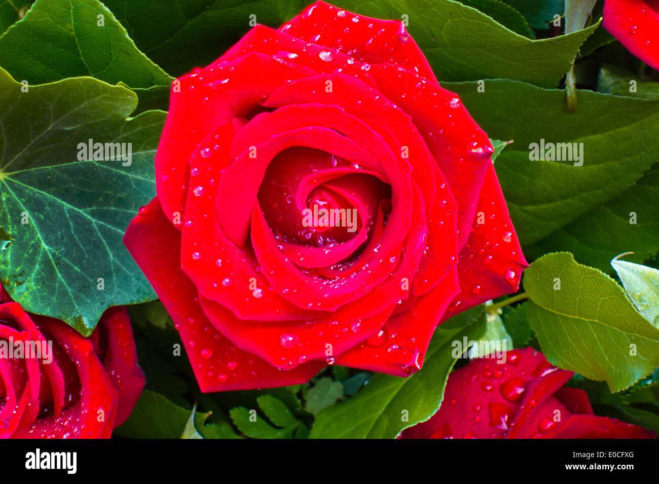 A red rose with drop of fresh rope., Eine rote Rose mit Tropfen von frischem Tau. Stock Photo
