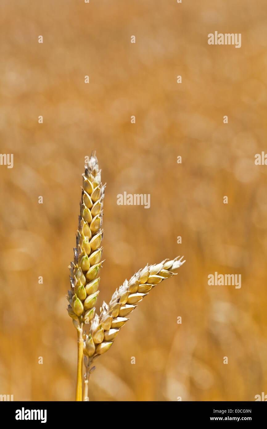 ears of wheat on a grain-field of a farmer in summer., aehren von Weizen auf einem Getreidefeld eines Bauern im Stock Photo