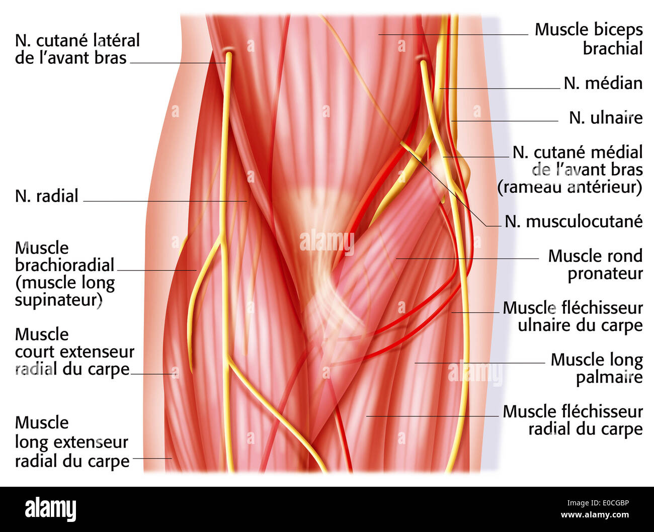 Elbow, anatomy Stock Photo: 69117770 - Alamy