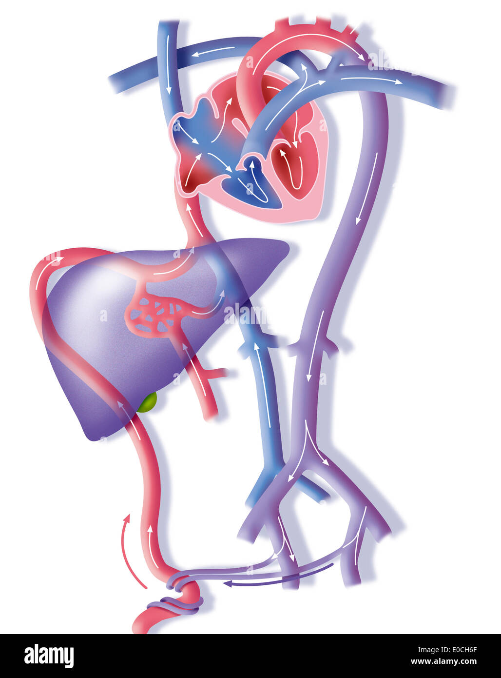 Fetal blood circulation - Stock Image