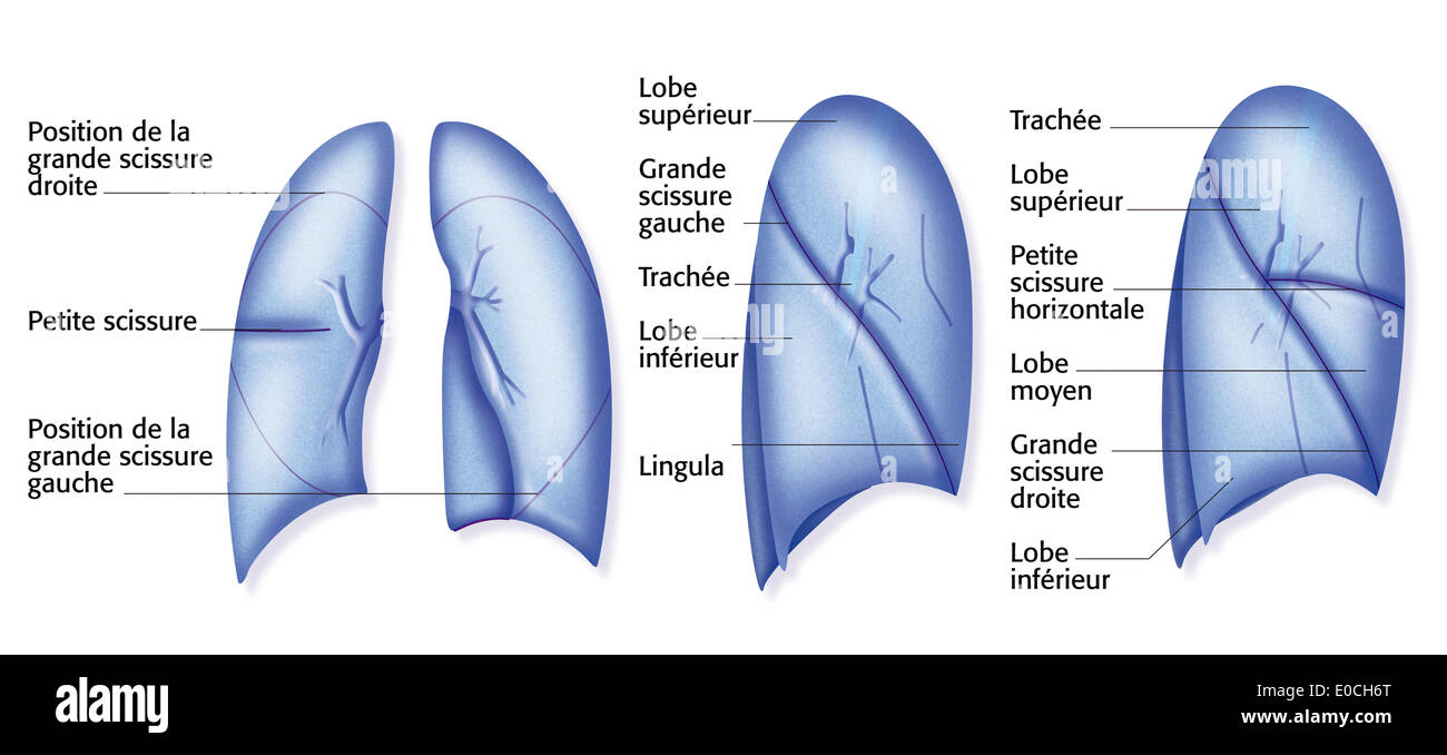 Lung, drawing - Stock Image