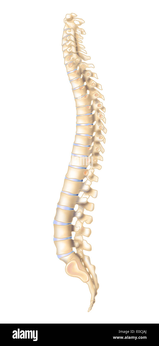 Spinal Column Drawing Stock Photo 69119306 Alamy