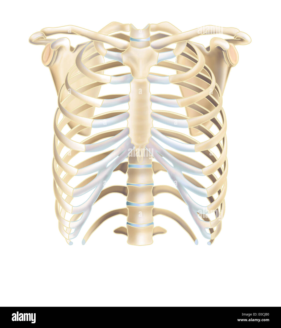 Xiphoid Process Stock Photos Xiphoid Process Stock Images Alamy