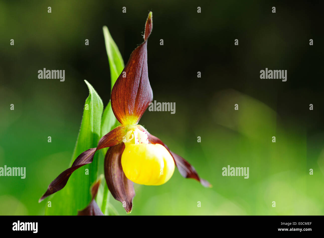 Yellow Lady's Slipper, Cypripendium calceolus, Pupplinger Au, valley of Isar, Upper Bavaria, Bavaria, Germany, Europe - Stock Image