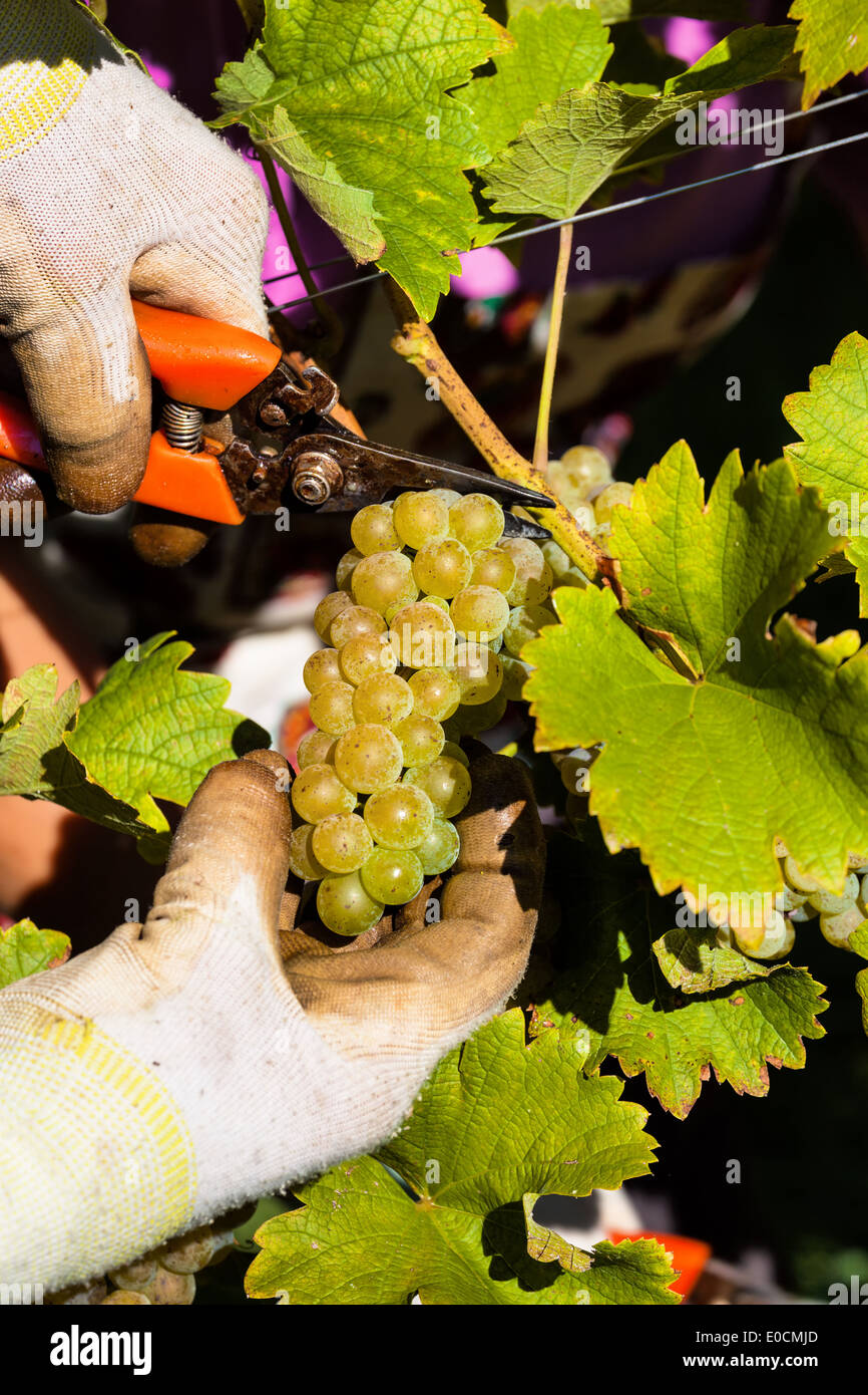 Vintage in autumn in in the vineyard of a winegrower. Maturity bunches of grapes in the vineyard wait for the vintage Stock Photo