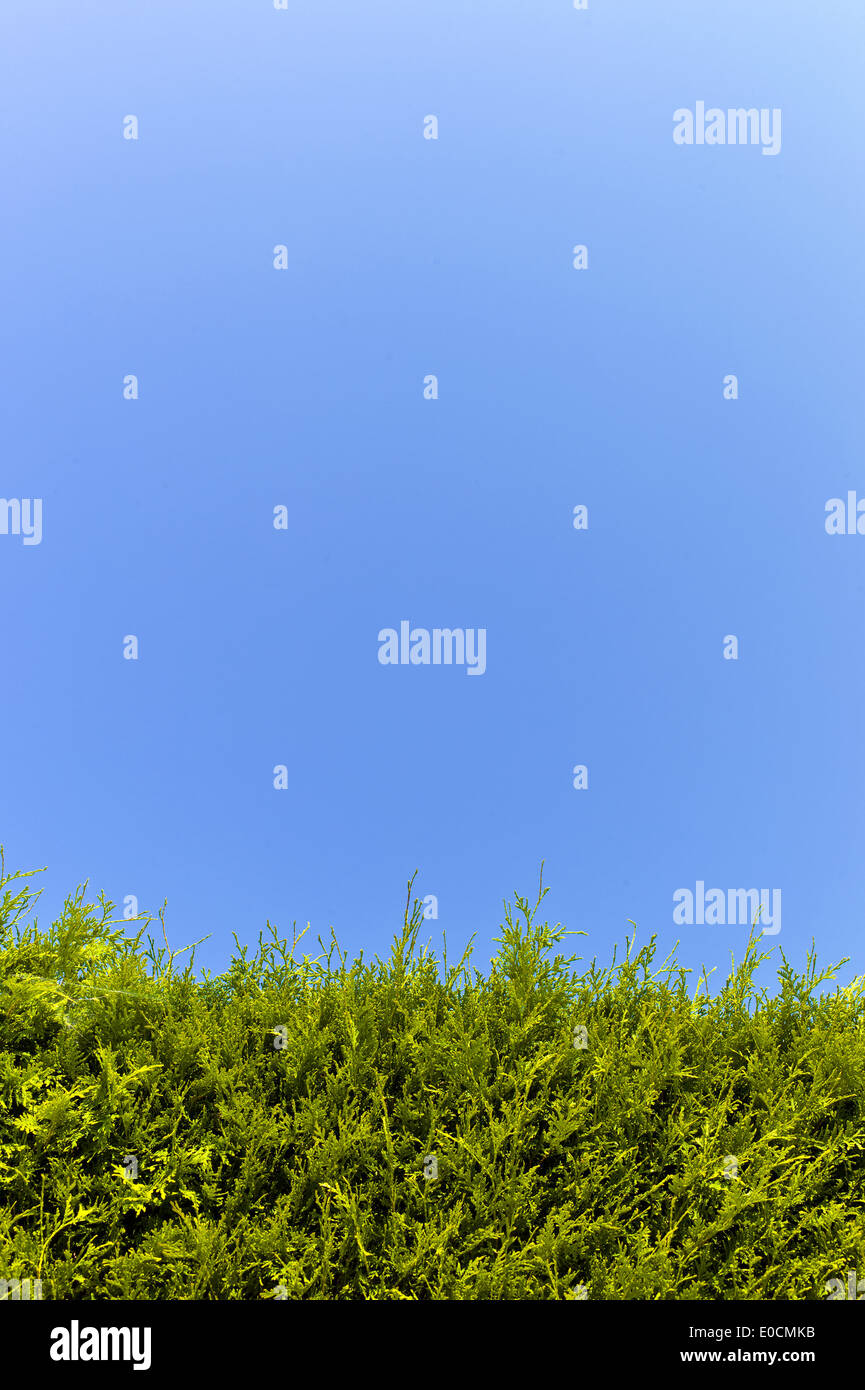 A hedge from Thujen before blue sky, Eine Hecke aus Thujen vor blauen Himmel - Stock Image